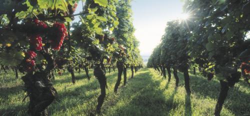 Les vignes en Alsace © Zvardon